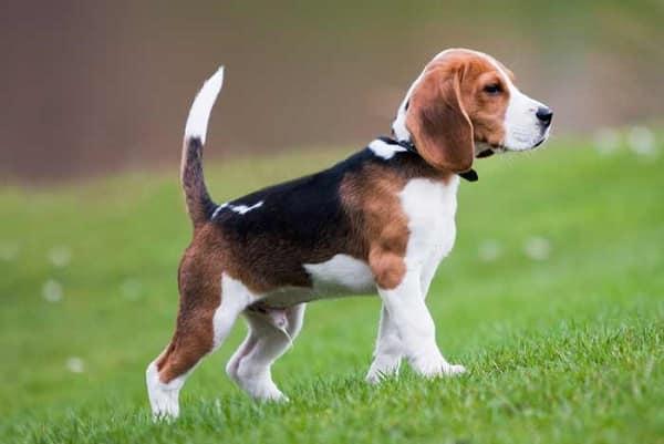 beagle raza perro