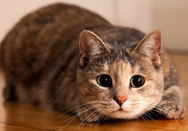 Gato Marron