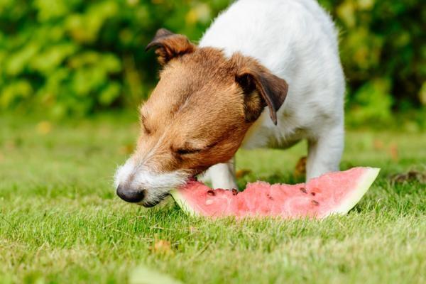pueden los perros comer sandia